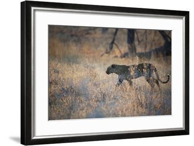A Leopard, Panthera Pardus, Walking Through Grass in Namibia's Etosha National Park-Alex Saberi-Framed Photographic Print