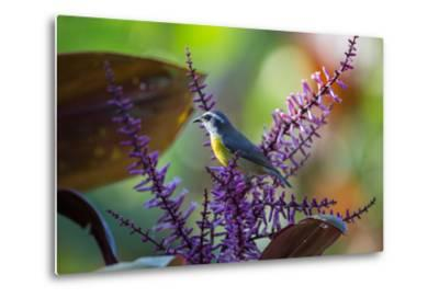 A Bananaquit Feeds from a Purple Flowering Plant in the Atlantic Rainforest-Alex Saberi-Metal Print