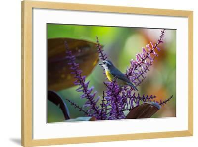 A Bananaquit Feeds from a Purple Flowering Plant in the Atlantic Rainforest-Alex Saberi-Framed Photographic Print
