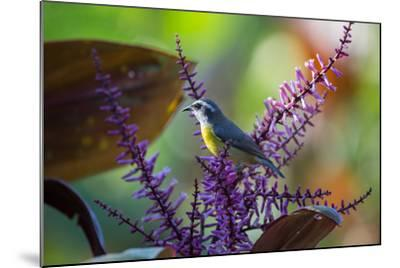 A Bananaquit Feeds from a Purple Flowering Plant in the Atlantic Rainforest-Alex Saberi-Mounted Photographic Print