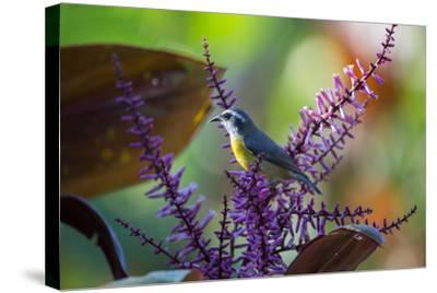 A Bananaquit Feeds from a Purple Flowering Plant in the Atlantic Rainforest-Alex Saberi-Stretched Canvas Print