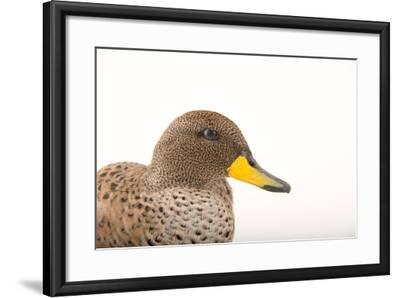 A Male Chilean Teal, Anas Flavirostris, at Sylvan Heights Bird Park-Joel Sartore-Framed Photographic Print