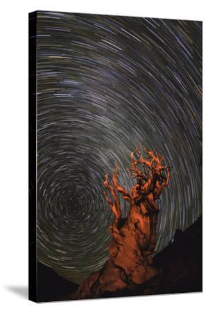 Long Exposure of Star Trails Above a Bristlecone Pine Tree in California, Usa-Babak Tafreshi-Stretched Canvas Print