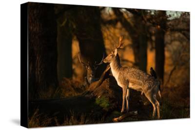 Two Fallow Deer, Cervus Elaphus, in London's Richmond Park-Alex Saberi-Stretched Canvas Print
