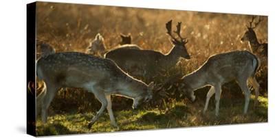 Two Fallow Deer, Dama Dama, Fighting in London's Richmond Park-Alex Saberi-Stretched Canvas Print