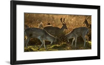 Two Fallow Deer, Dama Dama, Fighting in London's Richmond Park-Alex Saberi-Framed Photographic Print