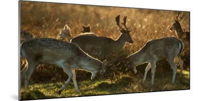 Two Fallow Deer, Dama Dama, Fighting in London's Richmond Park-Alex Saberi-Mounted Photographic Print