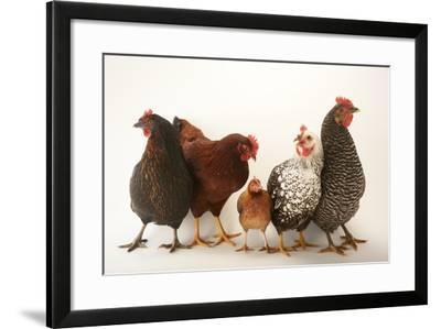 A Plymouth Barred Rock, Silver Laced Wyandotte, Nh Red, and Black Sex Link and Bantam Hen-Joel Sartore-Framed Photographic Print