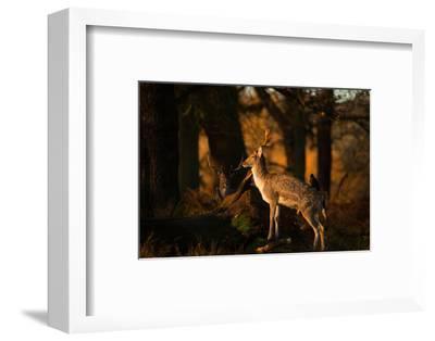 Two Fallow Deer, Cervus Elaphus, in London's Richmond Park-Alex Saberi-Framed Photographic Print