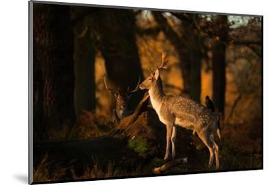 Two Fallow Deer, Cervus Elaphus, in London's Richmond Park-Alex Saberi-Mounted Photographic Print