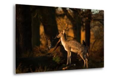Two Fallow Deer, Cervus Elaphus, in London's Richmond Park-Alex Saberi-Metal Print