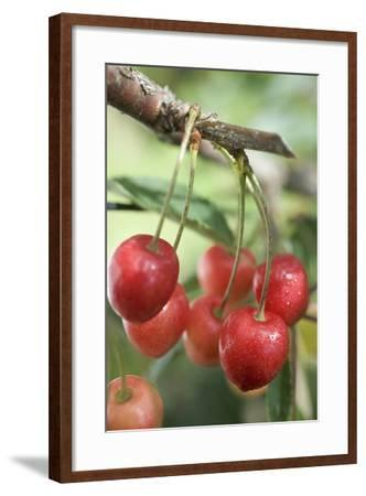 Cherries on Branch-Eising Studio - Food Photo and Video-Framed Photographic Print