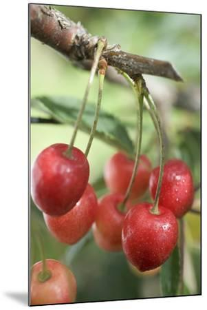 Cherries on Branch-Eising Studio - Food Photo and Video-Mounted Photographic Print
