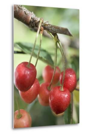 Cherries on Branch-Eising Studio - Food Photo and Video-Metal Print