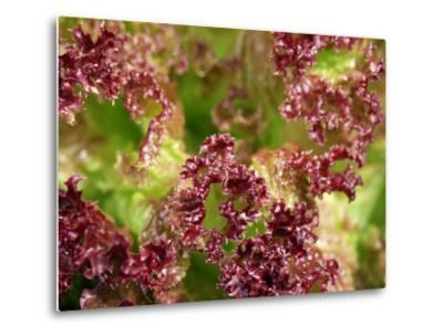 Red Leaf Lettuce (Lollo Rosso)-Foodcollection-Metal Print