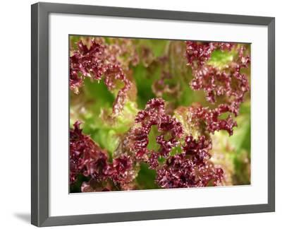 Red Leaf Lettuce (Lollo Rosso)-Foodcollection-Framed Photographic Print