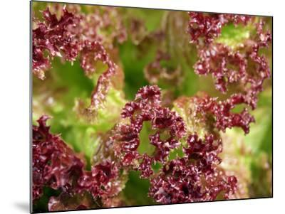 Red Leaf Lettuce (Lollo Rosso)-Foodcollection-Mounted Photographic Print
