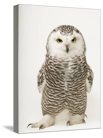 A Female Snowy Owl, Bubo Scandiacus, at Raptor Recovery Nebraska-Joel Sartore-Stretched Canvas Print