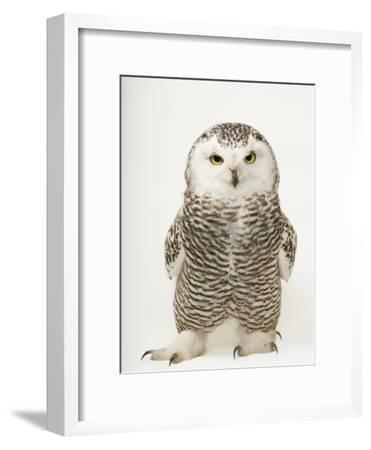 A Female Snowy Owl, Bubo Scandiacus, at Raptor Recovery Nebraska-Joel Sartore-Framed Premium Photographic Print