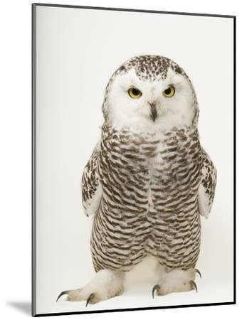 A Female Snowy Owl, Bubo Scandiacus, at Raptor Recovery Nebraska-Joel Sartore-Mounted Premium Photographic Print