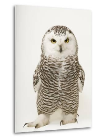 A Female Snowy Owl, Bubo Scandiacus, at Raptor Recovery Nebraska-Joel Sartore-Metal Print