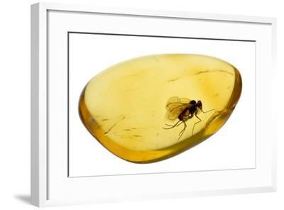Fossilised Fly In Baltic Amber. Whole Specimen Approx 15Mm Long. Fly Approx 5Mm-Adrian Davies-Framed Photographic Print