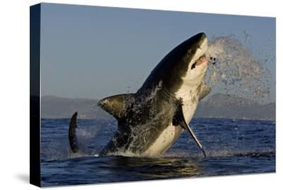 Great White Shark (Carcharodon Carcharias) Breaching Whilst Attacking Seal Decoy-Chris & Monique Fallows-Stretched Canvas Print