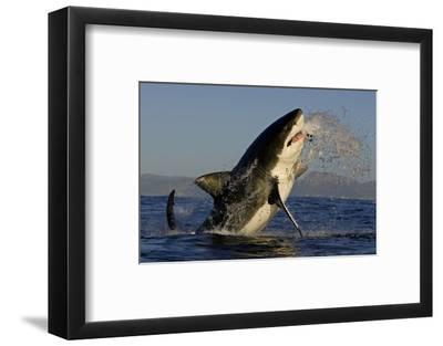 Great White Shark (Carcharodon Carcharias) Breaching Whilst Attacking Seal Decoy-Chris & Monique Fallows-Framed Photographic Print