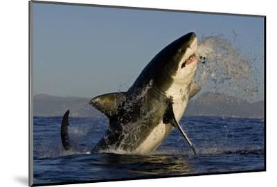 Great White Shark (Carcharodon Carcharias) Breaching Whilst Attacking Seal Decoy-Chris & Monique Fallows-Mounted Photographic Print
