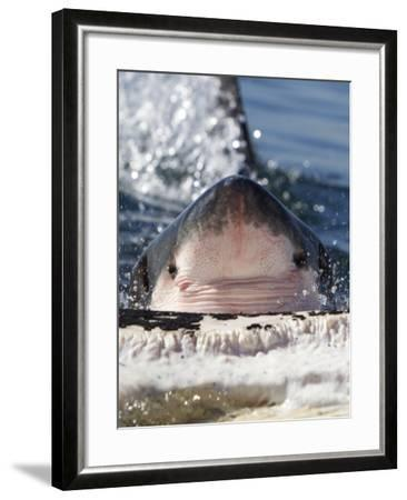 Great White Shark (Carcharodon Carcharias) Feeding On Brydes Whale Carcass (Balaenoptera Brydei)-Chris & Monique Fallows-Framed Photographic Print
