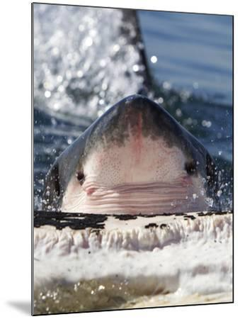 Great White Shark (Carcharodon Carcharias) Feeding On Brydes Whale Carcass (Balaenoptera Brydei)-Chris & Monique Fallows-Mounted Photographic Print