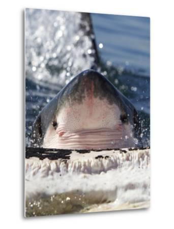 Great White Shark (Carcharodon Carcharias) Feeding On Brydes Whale Carcass (Balaenoptera Brydei)-Chris & Monique Fallows-Metal Print