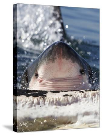 Great White Shark (Carcharodon Carcharias) Feeding On Brydes Whale Carcass (Balaenoptera Brydei)-Chris & Monique Fallows-Stretched Canvas Print
