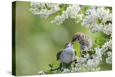 Tree Sparrow (Passer Montanus) Feeding A Fledgling-Fergus Gill-Stretched Canvas Print