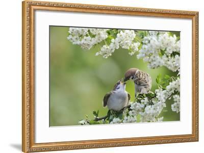 Tree Sparrow (Passer Montanus) Feeding A Fledgling-Fergus Gill-Framed Photographic Print
