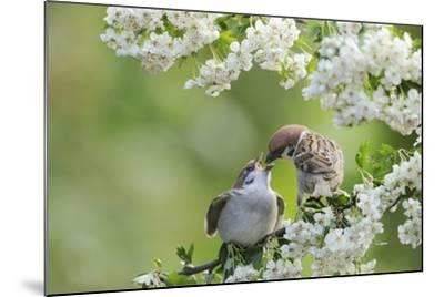 Tree Sparrow (Passer Montanus) Feeding A Fledgling-Fergus Gill-Mounted Photographic Print