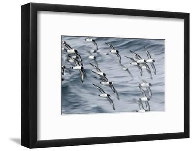 Pintado Petrel (Daption Capense) Flock In Flight, Southern Ocean-Chris & Monique Fallows-Framed Photographic Print