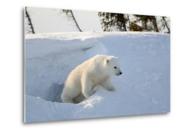Polar Bear Cub 3 Months (Ursus Maritimus) Playing In The Front Of The Day Den In March-Eric Baccega-Metal Print