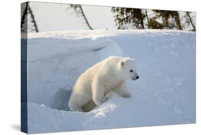 Polar Bear Cub 3 Months (Ursus Maritimus) Playing In The Front Of The Day Den In March-Eric Baccega-Stretched Canvas Print