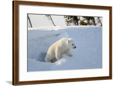 Polar Bear Cub 3 Months (Ursus Maritimus) Playing In The Front Of The Day Den In March-Eric Baccega-Framed Photographic Print