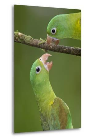 Orange-Chinned Parakeets (Brotogeris Jugularis) Interacting, Northern Costa Rica, Central America-Suzi Eszterhas-Metal Print