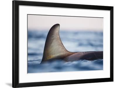 Killer Whale - Orca (Orcinus Orca), Close-Up Of Dorsal Fin. Andfjorden, Close To Andoya-Espen Bergersen-Framed Photographic Print