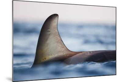 Killer Whale - Orca (Orcinus Orca), Close-Up Of Dorsal Fin. Andfjorden, Close To Andoya-Espen Bergersen-Mounted Photographic Print