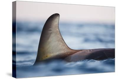 Killer Whale - Orca (Orcinus Orca), Close-Up Of Dorsal Fin. Andfjorden, Close To Andoya-Espen Bergersen-Stretched Canvas Print