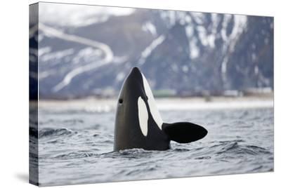 Killer Whale - Orca (Orcinus Orca) Spyhopping. Andfjorden, Close To Andoya, Nordland-Espen Bergersen-Stretched Canvas Print