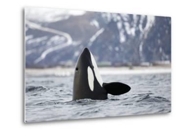 Killer Whale - Orca (Orcinus Orca) Spyhopping. Andfjorden, Close To Andoya, Nordland-Espen Bergersen-Metal Print