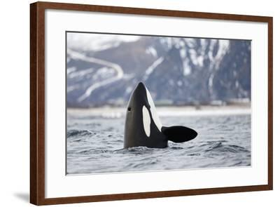 Killer Whale - Orca (Orcinus Orca) Spyhopping. Andfjorden, Close To Andoya, Nordland-Espen Bergersen-Framed Photographic Print