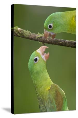 Orange-Chinned Parakeets (Brotogeris Jugularis) Interacting, Northern Costa Rica, Central America-Suzi Eszterhas-Stretched Canvas Print