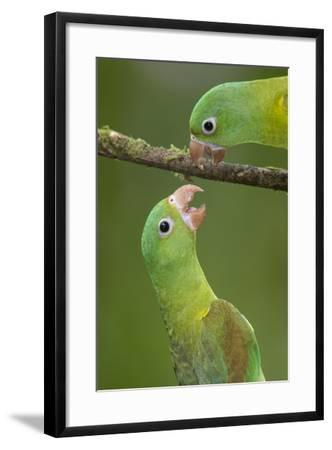 Orange-Chinned Parakeets (Brotogeris Jugularis) Interacting, Northern Costa Rica, Central America-Suzi Eszterhas-Framed Photographic Print