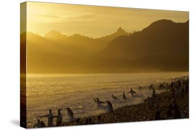 King Penguins (Aptenodytes Patagonicus) On Beach At Sunrise, South Georgia Island, March-Russell Laman-Stretched Canvas Print